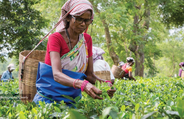 Lady picking tea in Assam